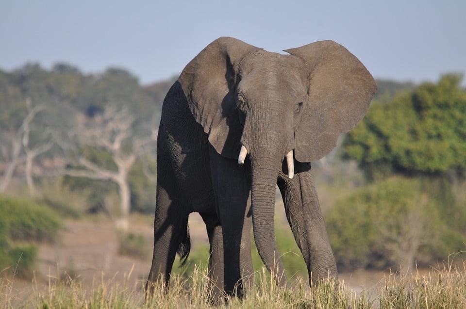 elefantul african