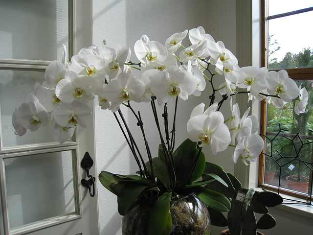 orhidee1