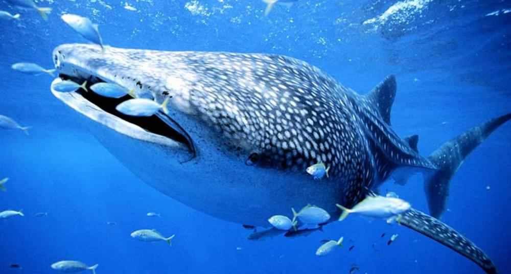 rechinul-balena