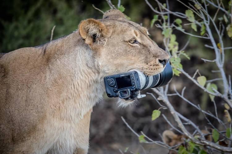 barbara-jensen-vorster-lionness-photo-3