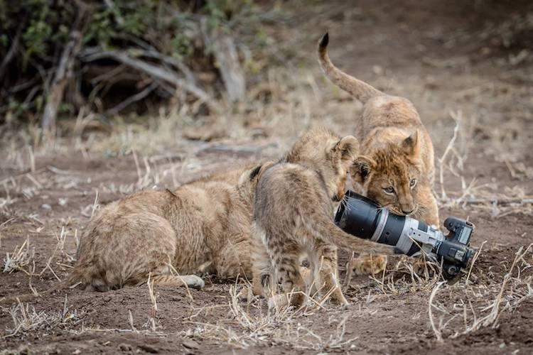 barbara-jensen-vorster-lionness-photo-5