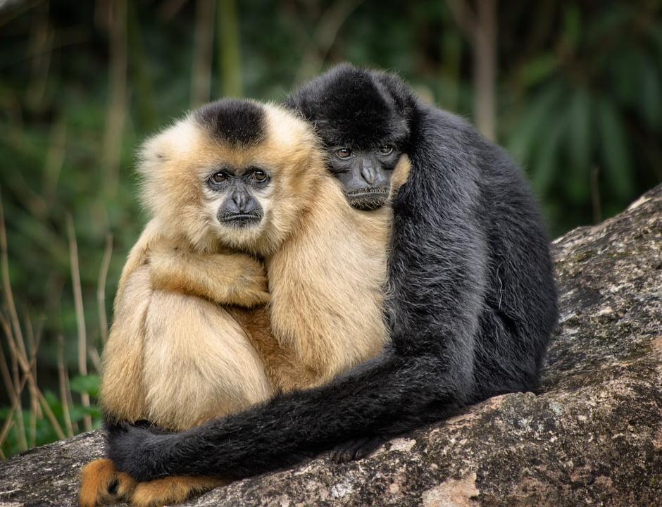 imbratisari maimute