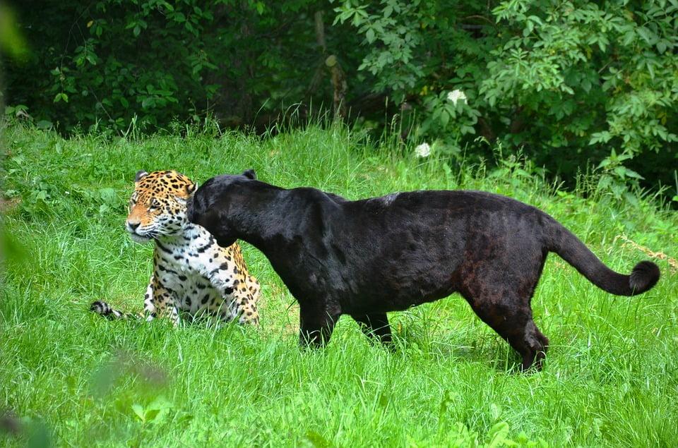 leopard negru