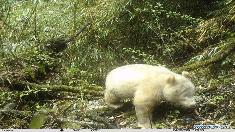 urs panda alb
