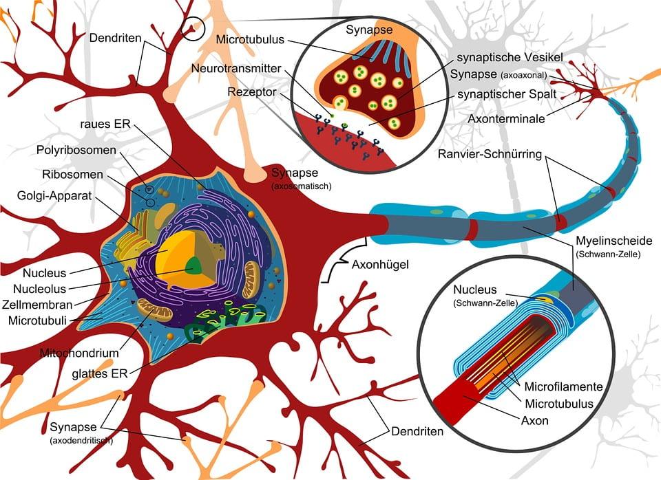 sinapse neuroni