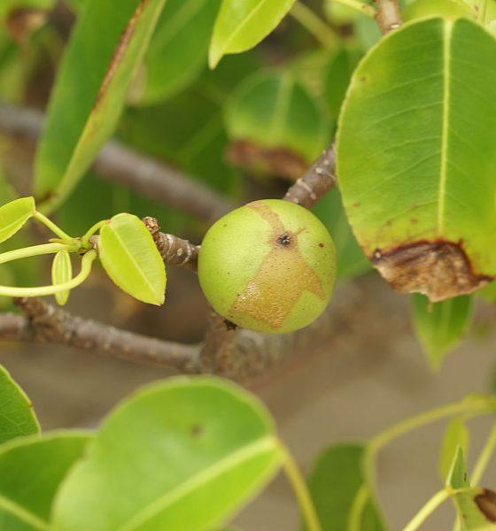 Machineel tree - fruit