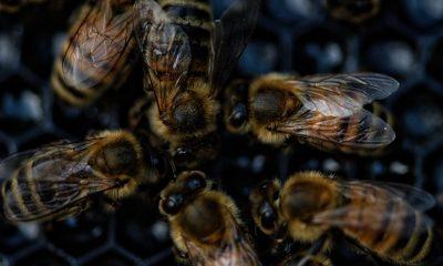 bees-albine
